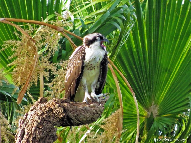 osprey chick arlene asks for fish ud132