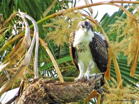 osprey chick arlene is sleepy ud132_edited-1