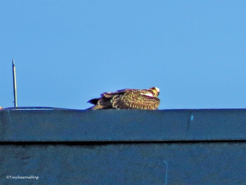 osprey chick eats on the roof ud129_edited-1