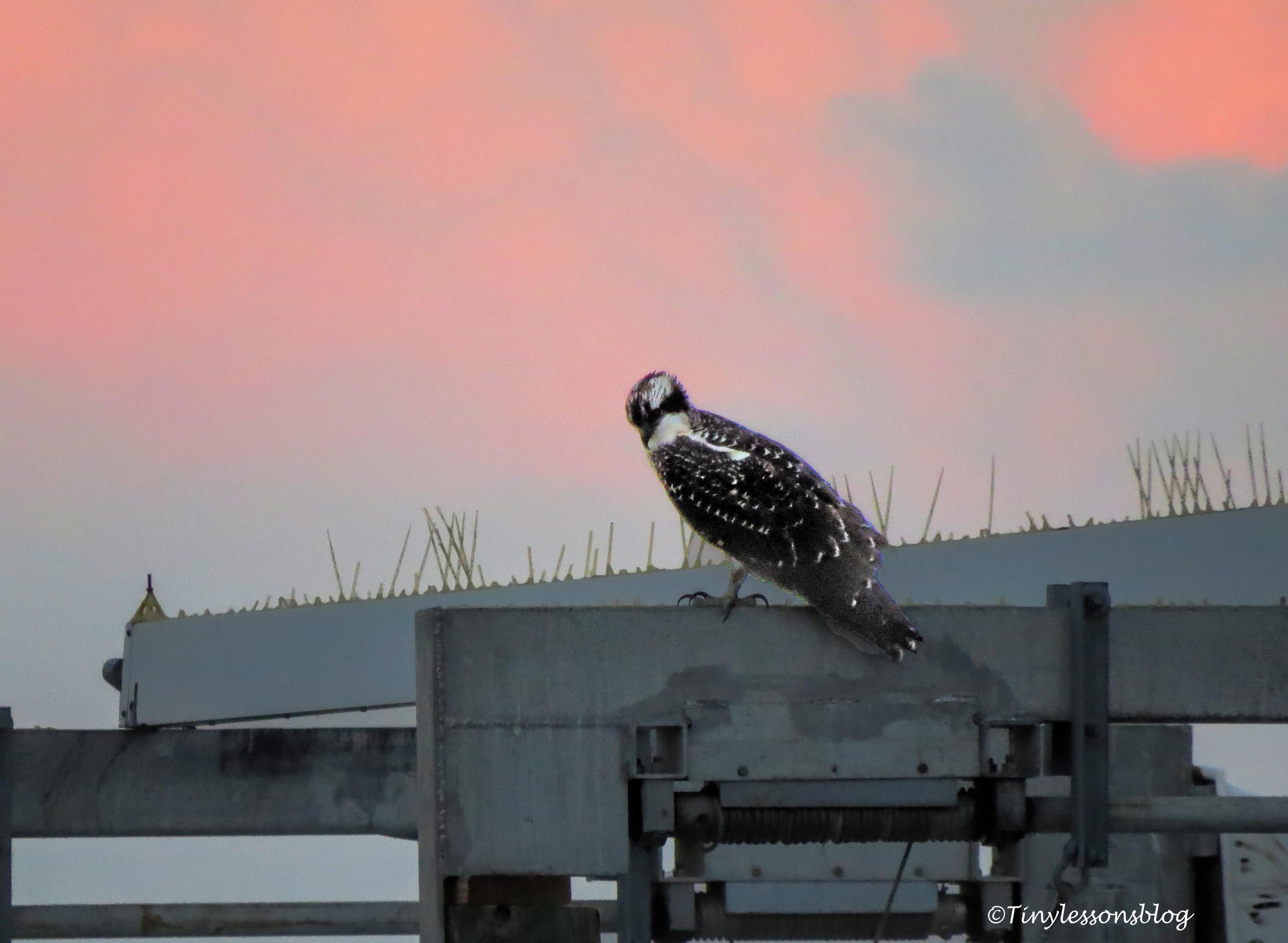 osprey chick enjoys sunset ud129
