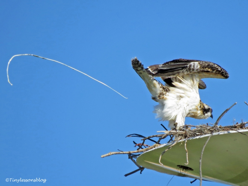 osprey chick going to toilet ud126_edited-2