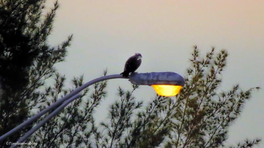 papa osprey after sunset ud131