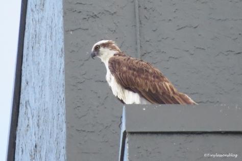 Papa Osprey at Marriott ud132_edited-1