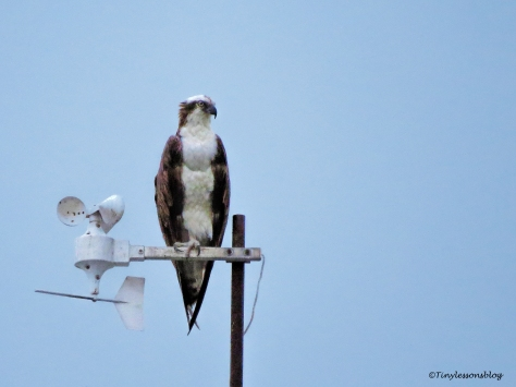 papa osprey looks at chick ud129
