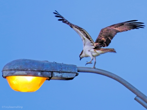 papa osprey on the lamp ud127_edited-2