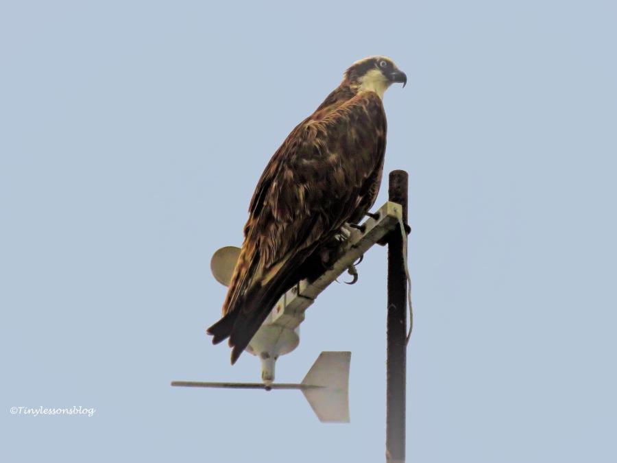 papa osprey waits at the sailing center ud127_edited-2