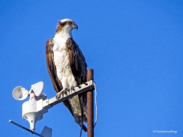 papa osprey watches Arlene ud131