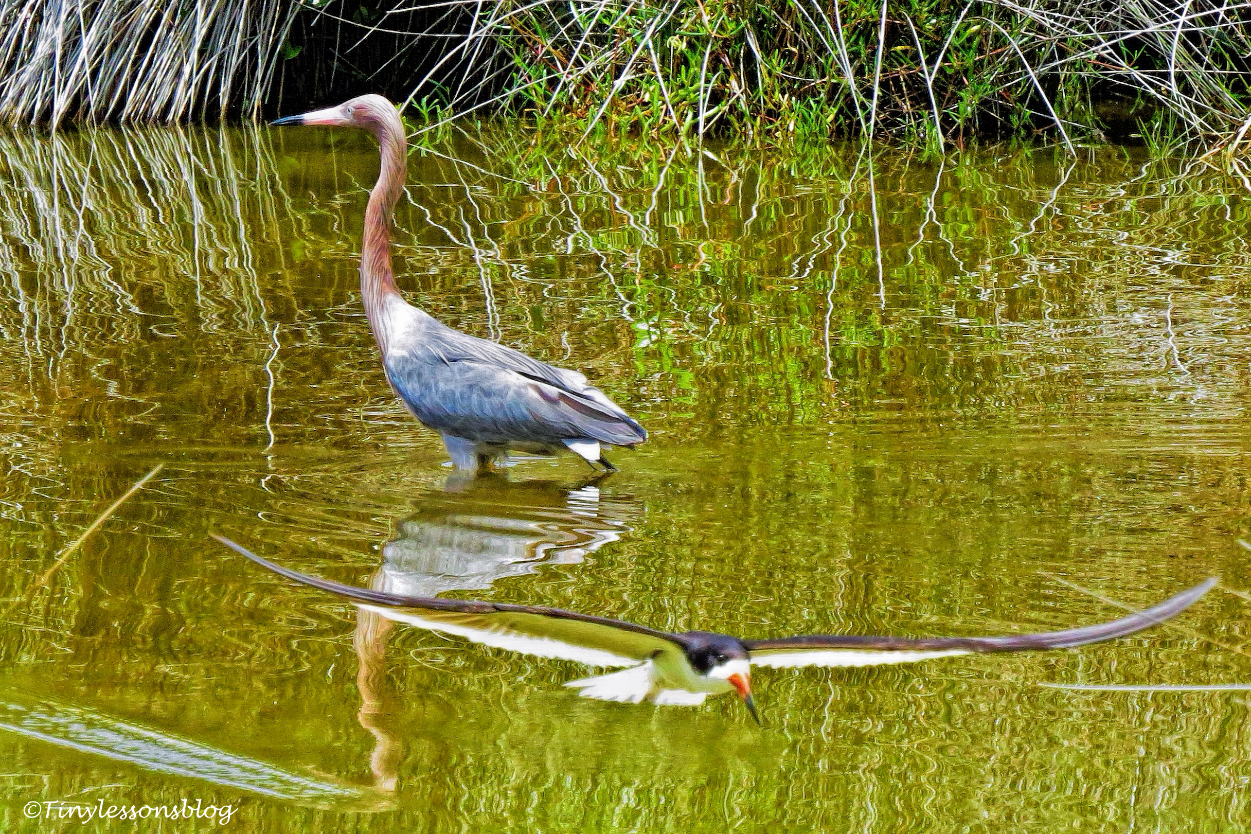 reddish egret and black skimmer ud132