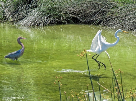 Reddish Egret chases a great egret ud129_edited-1