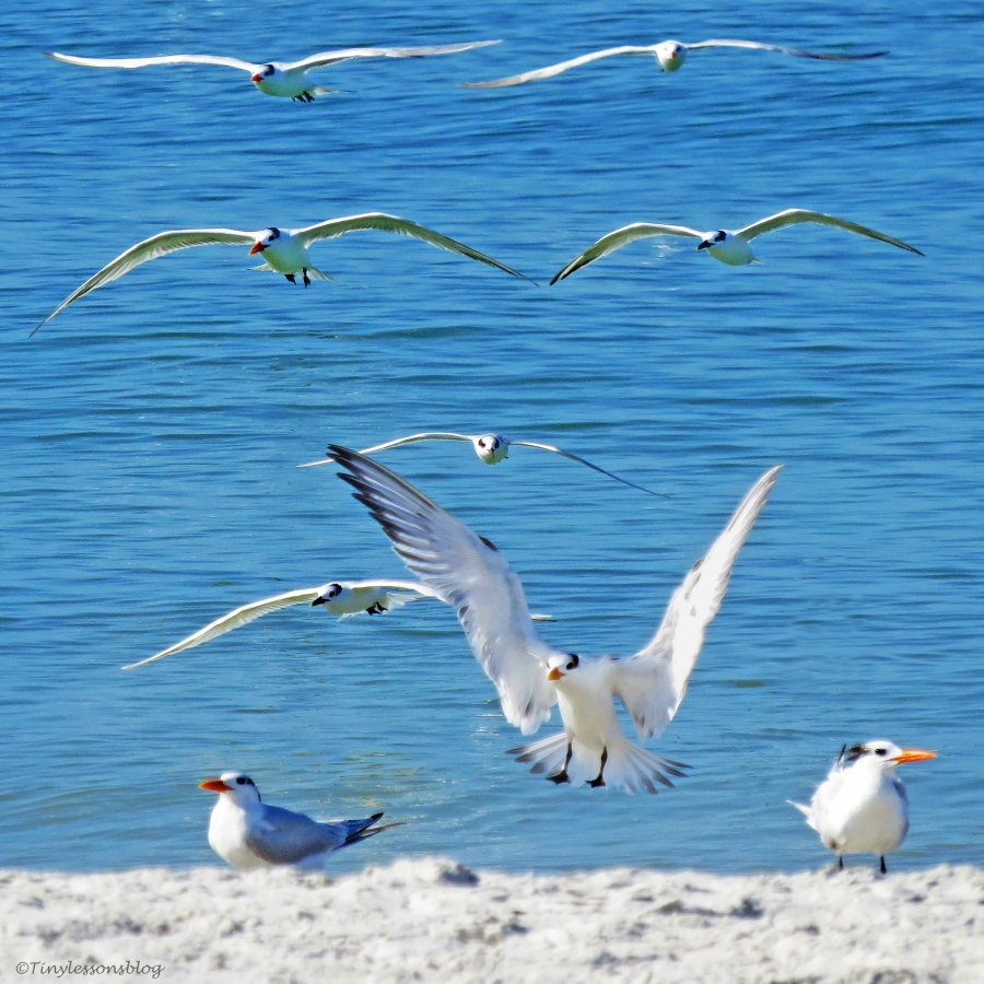 royal terns landing order ud129