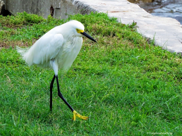 snowy egret at the seawall ud131