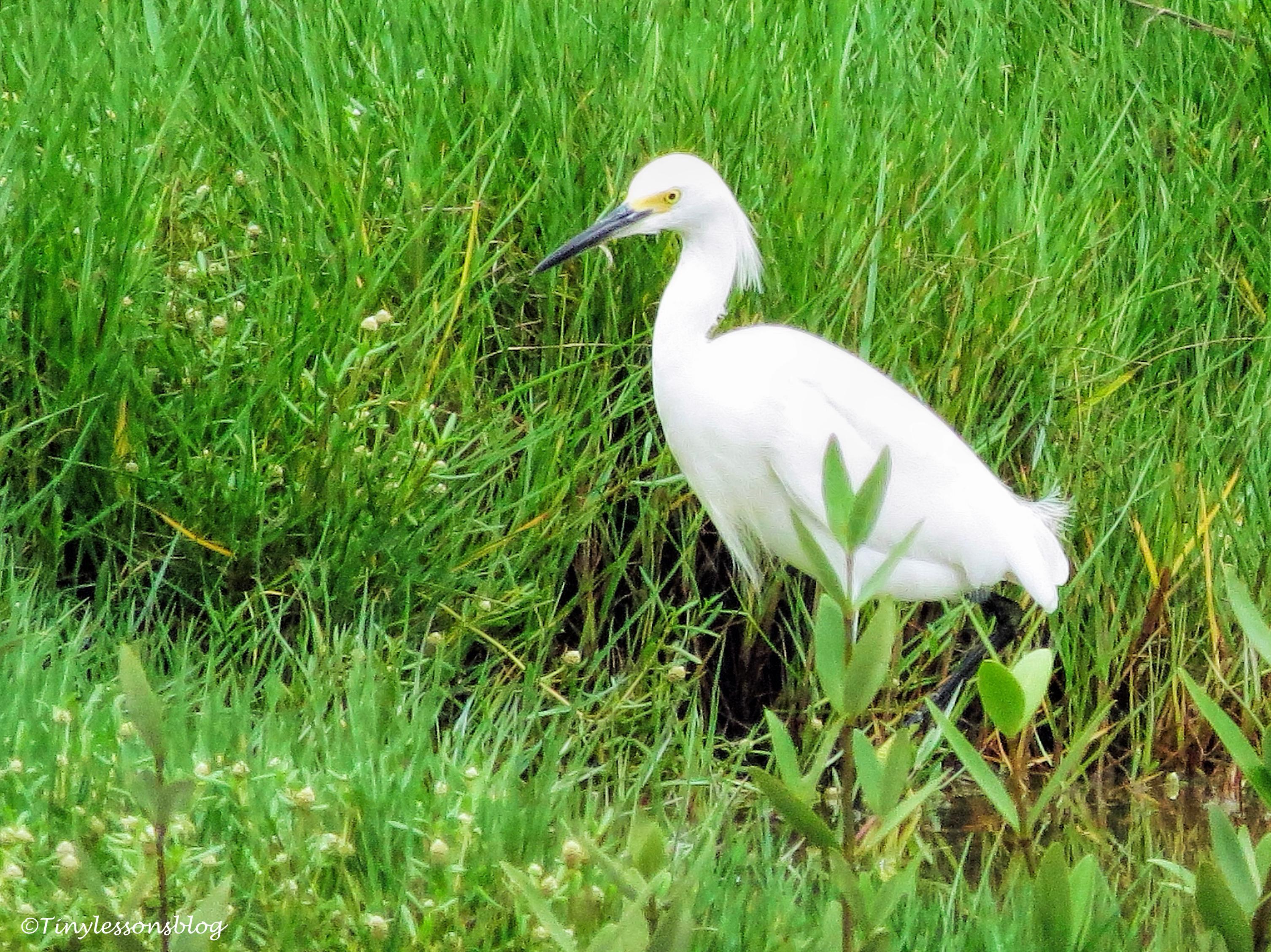 snowy egret ud130