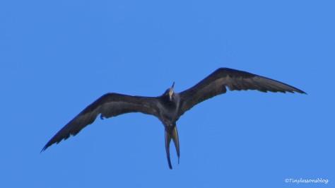 swallow-tailed Kite over salt marsh ud131_edited-1