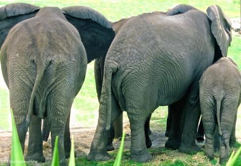 three elephant butts ud129