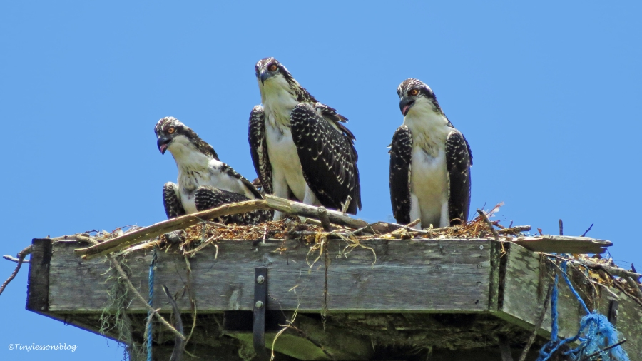 three osprey chicks May 27 2015 ud129