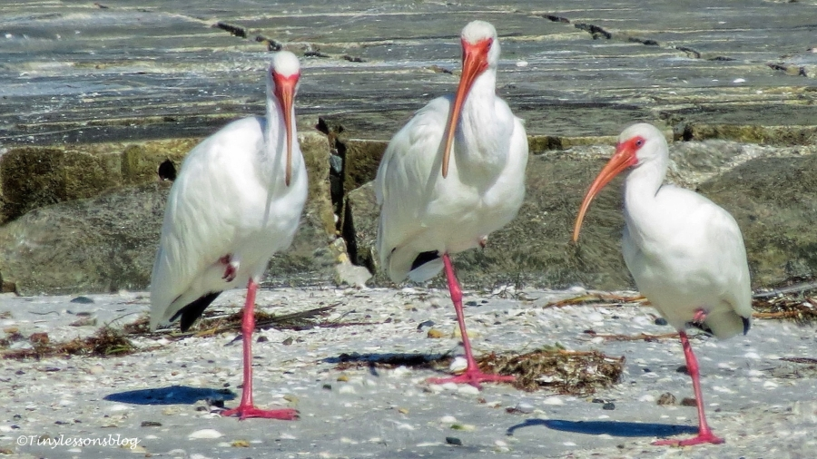 three white ibis ud129