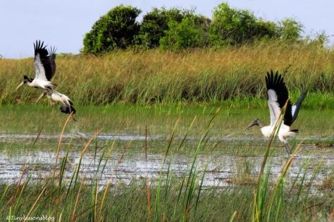 three wood storks departing ud129