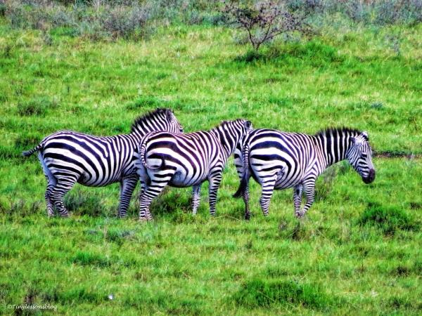 three zebras ud129
