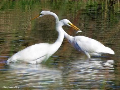 two egrets ud129