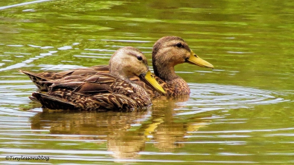 two mottled ducklings ud132