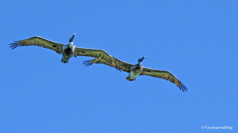 two pelicans flying tandem ud129