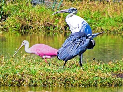 wood stork blue heron and roseate spponbill ud129_edited-1