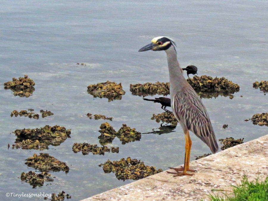 Yellow-crowned Night Heron ud127