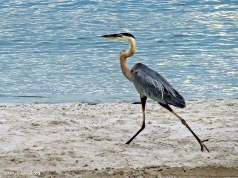 young gret blue heron ud127_edited-1