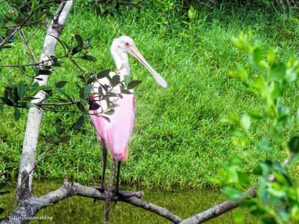 young roseate spoonbill ud130