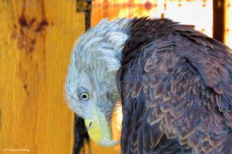 bald eagle at McGough ud134_edited-2