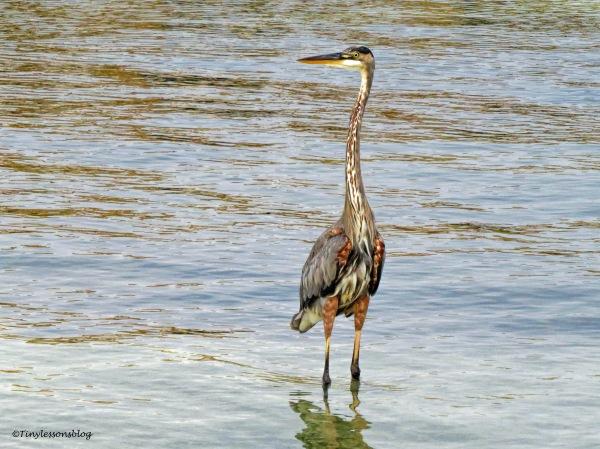 great blue heron mayor ud134