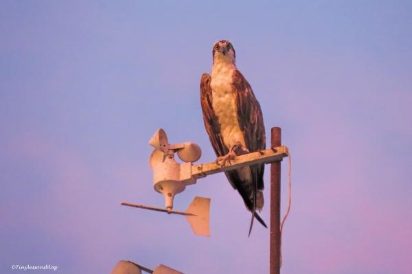 papa osprey at sunset ud135