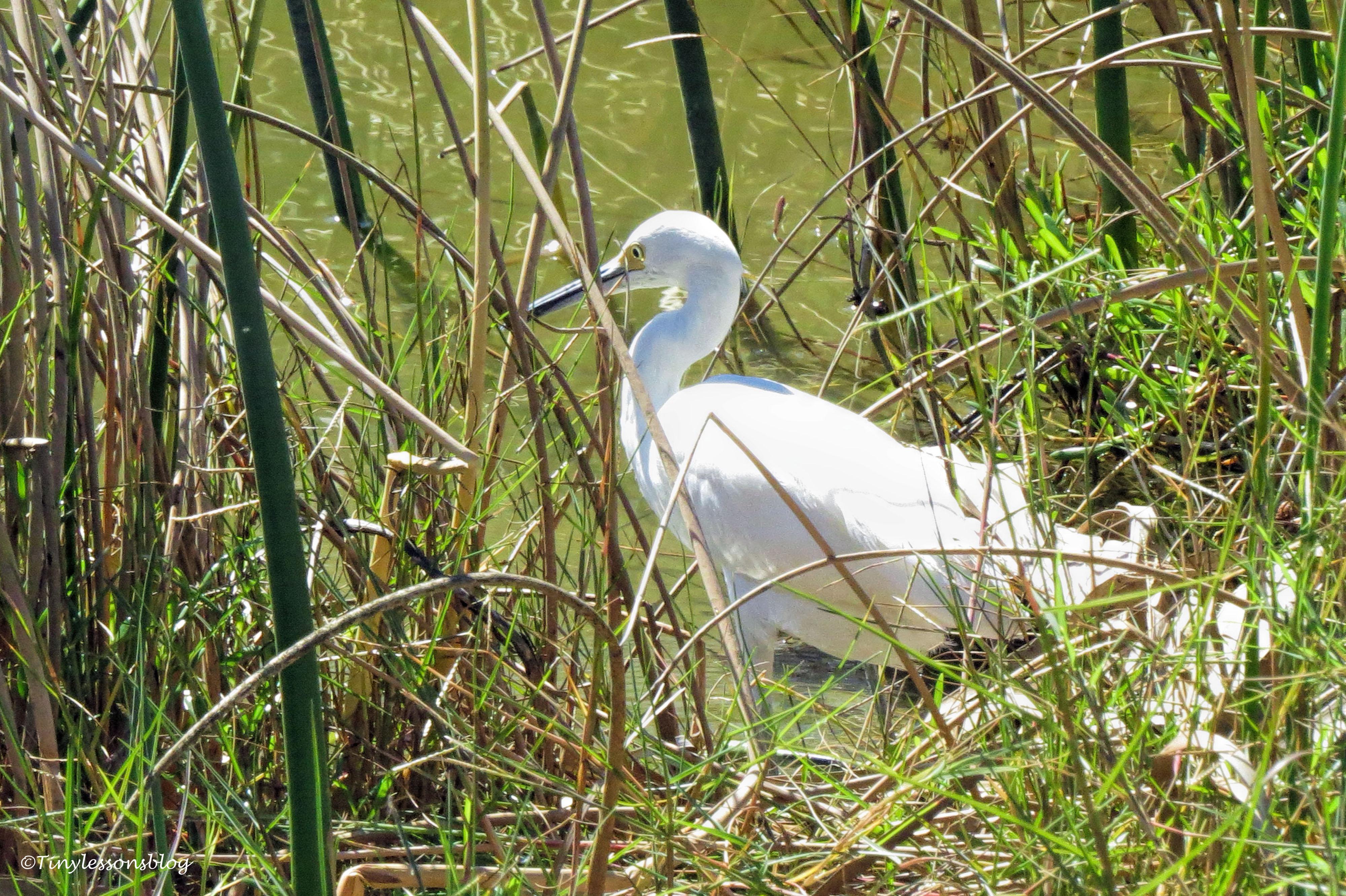 a snowy egret ud141