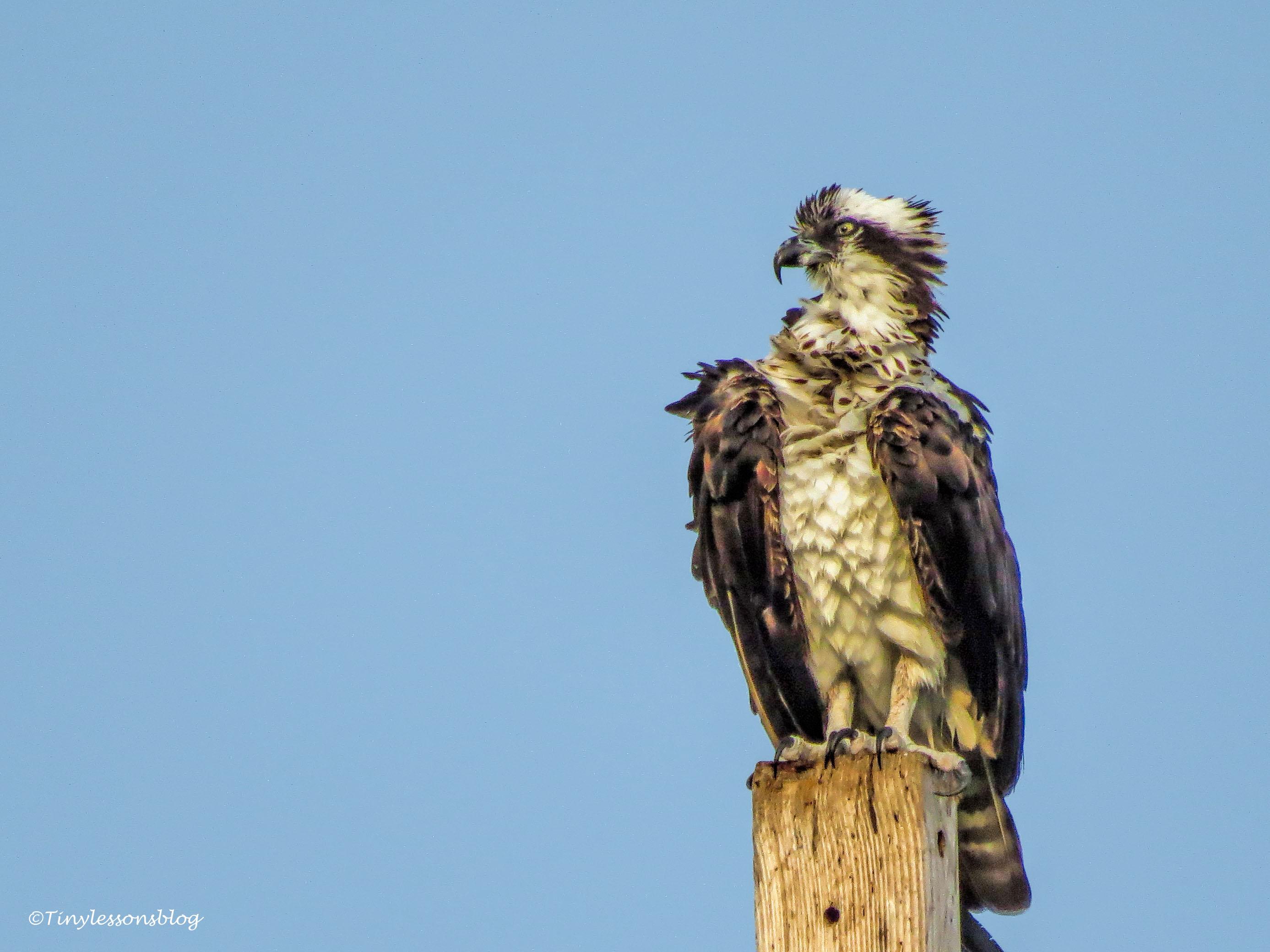 mama osprey after Irma ud141
