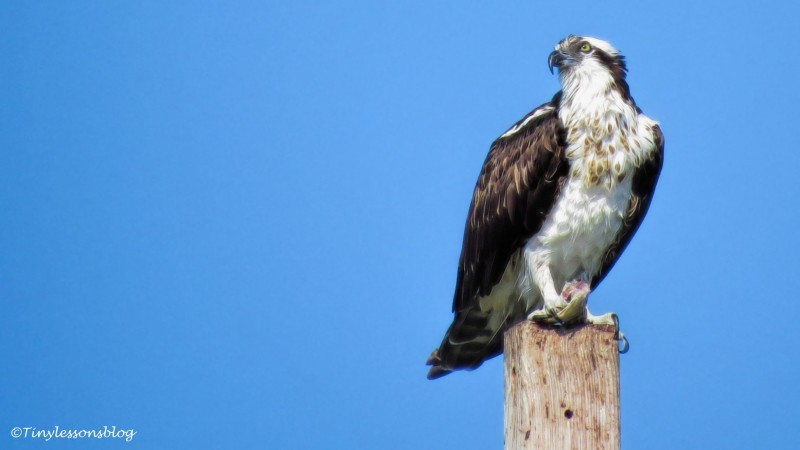 mama osprey at the nest 16x9 ud141
