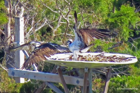 mama osprey chases papa away from the nest ud141