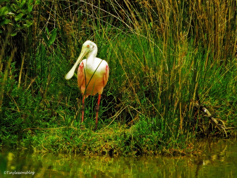 Miss Rosa the Roseate Spoonbill at sunset_edited-1