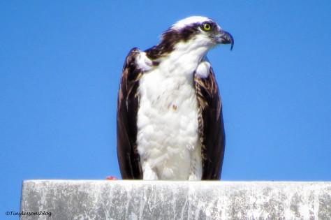 papa osprey eats and looks at mama osprey ud141