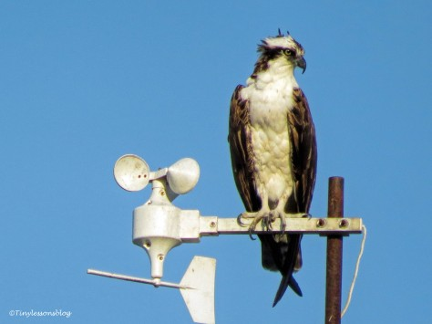 papa osprey right after the storm ud141.jpg