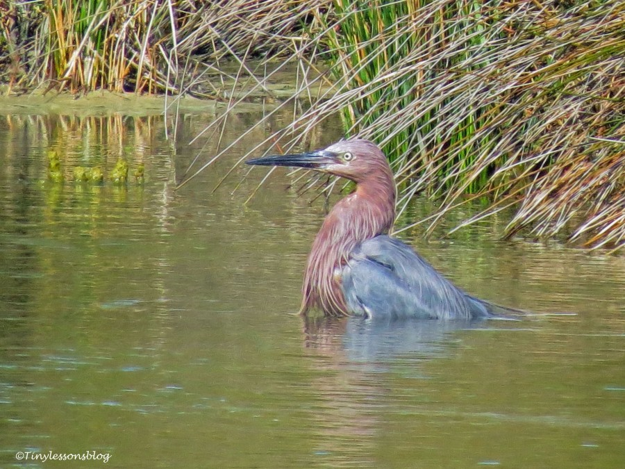 reddish egret sits in the water ud141