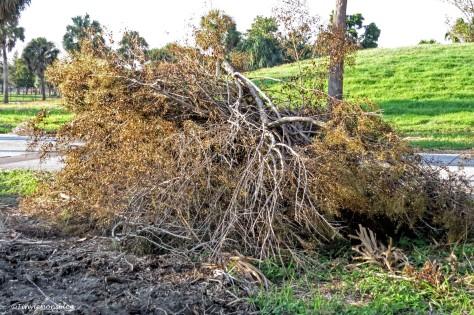 salt marsh debris after Irma ud141