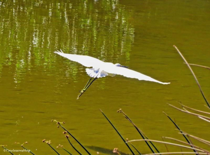 snowy egret flies away ud141