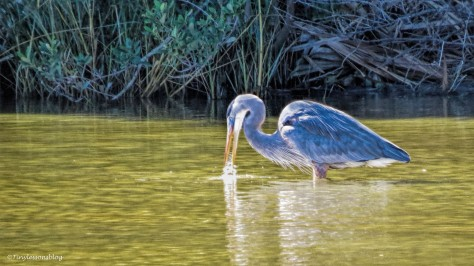 the great blue heron Mayor fishing ud141_edited-2