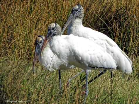 three wood storks