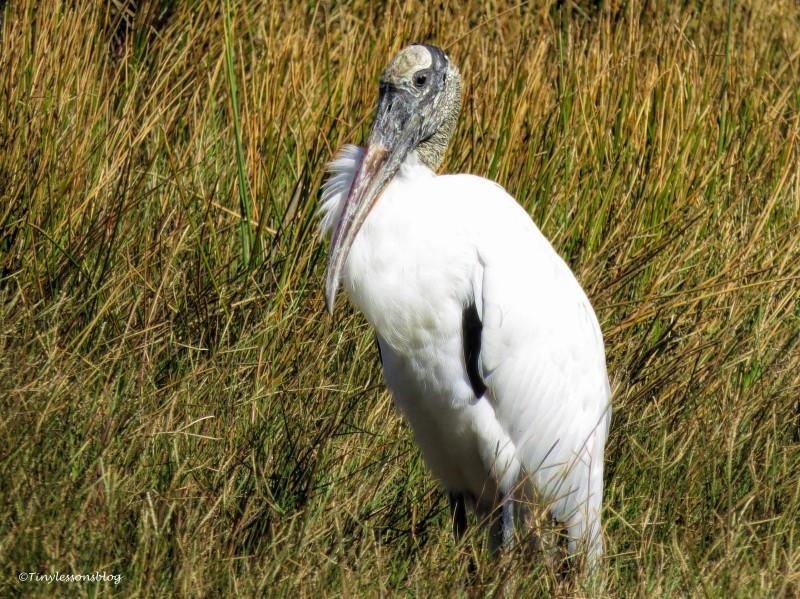 wood stork ud141