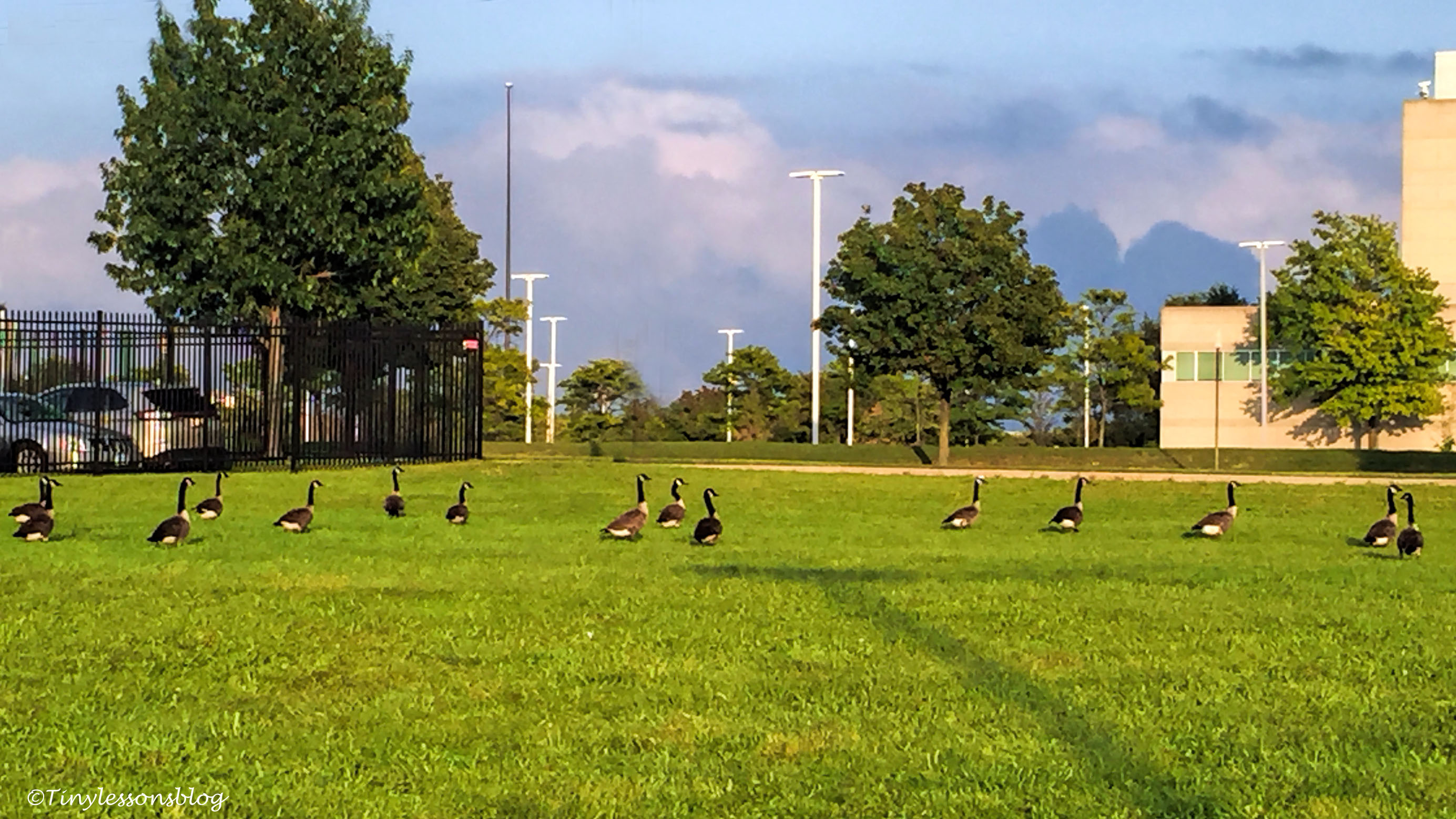 Canada geese in Philly_edited-1