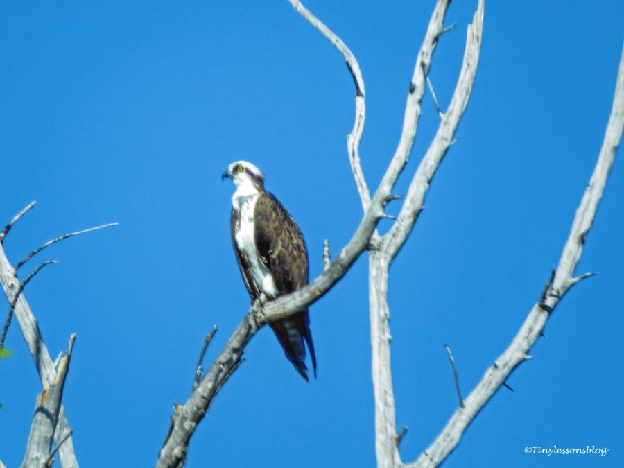 osprey FDS