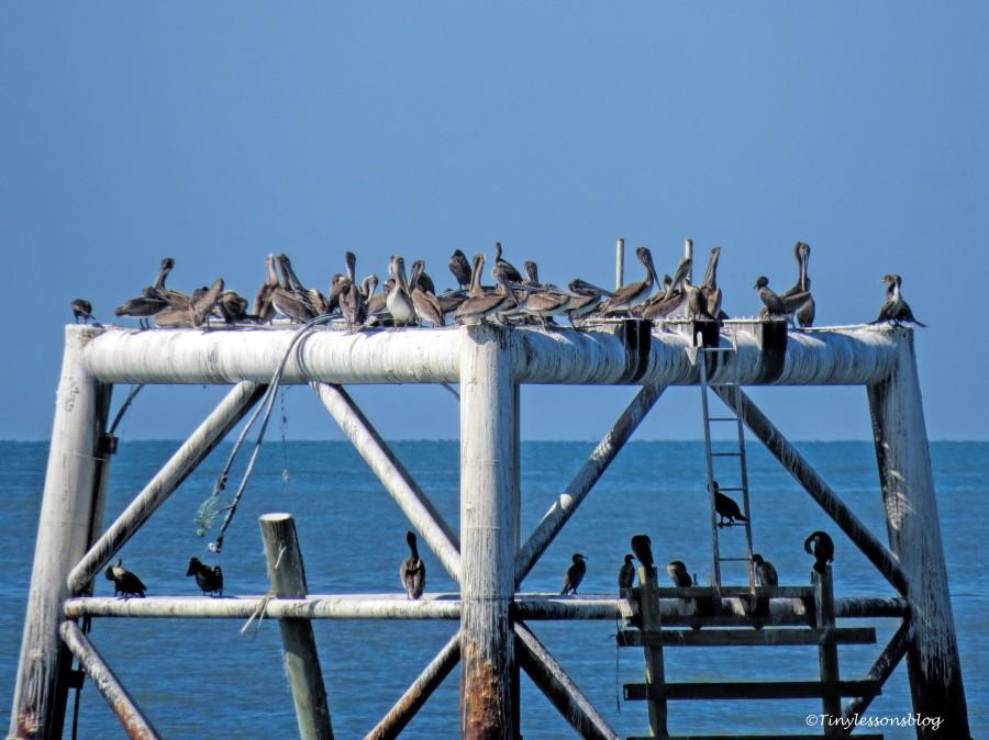 pelicans FDS