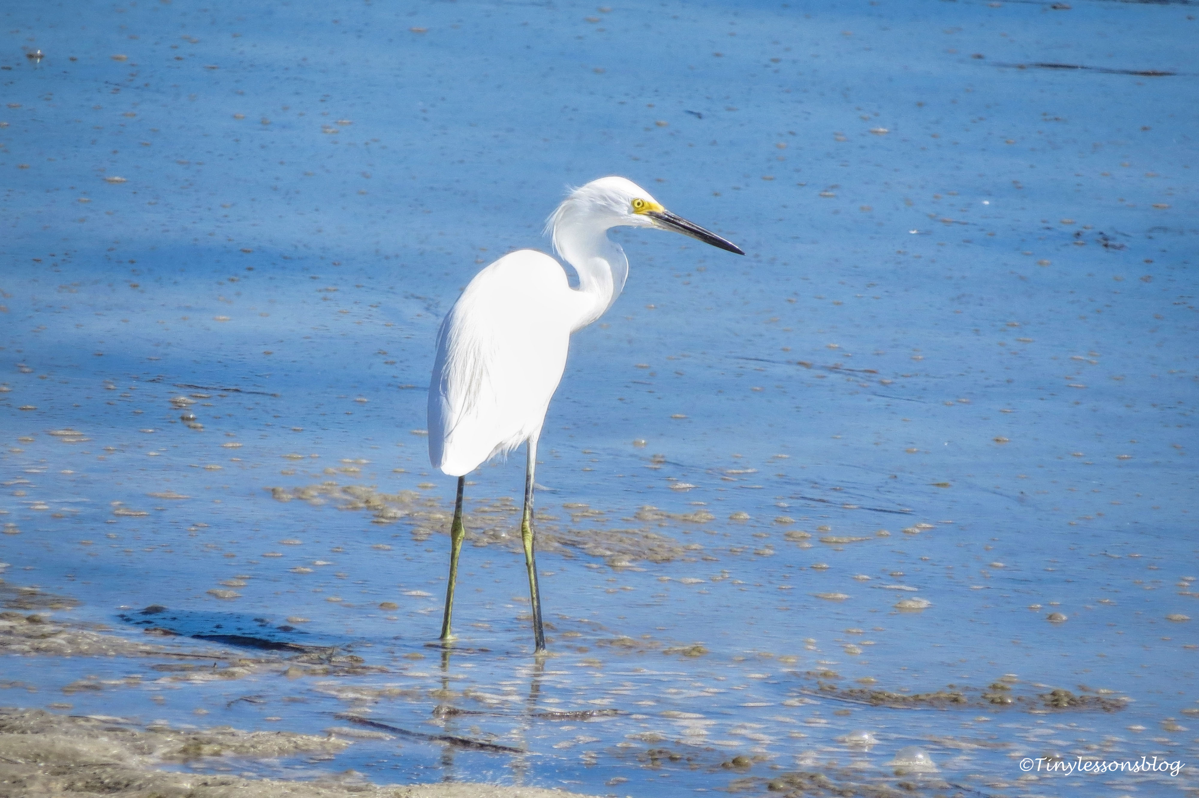 snowy egret FDS