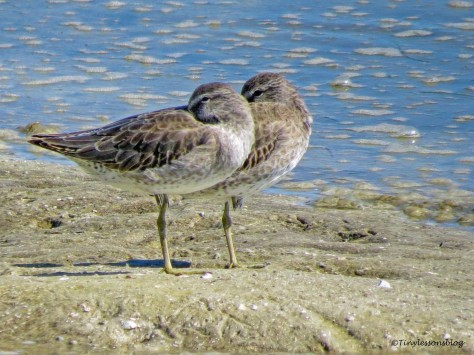 two willets FDS_edited-1